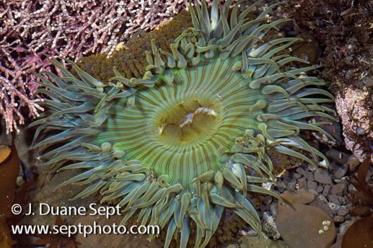 Sunburst Anemone, Anthopleura sola, Fitzgerald Marine Reserve, San Mateo County, California